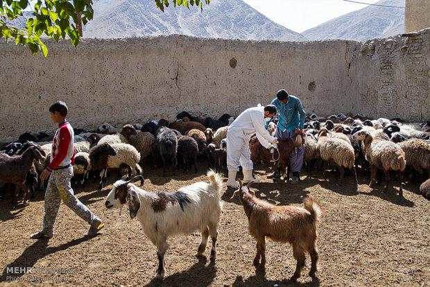 واکسیناسیون سراسری دامهای سبک در بوئین زهرا