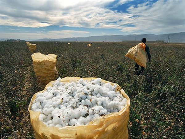 سالانه 150 تن وش پنبه در اراضی کشاورزی شهرستان بوئین زهرا تولید می شود