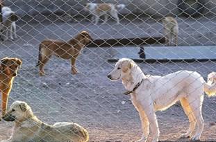 واکسینه شدن بیش از 800 قلاده سگ علیه بیماری هاری در شهرستان بوئین زهرا