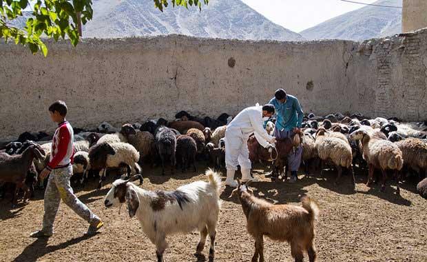 ۳۷۵ هزار راس دام در بوئین زهرا علیه تب برفکی واکسینه شدند