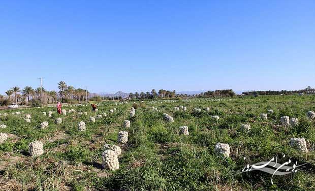 40 هکتار از اراضی کشاورزی بوئین زهرا به زیر کشت پیاز می رود