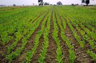 مبارزه با علفهای هرز در بیش از 7500 هکتار از مزارع کشاورزی شهرستان پایان یافت