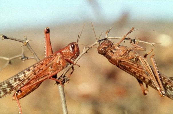 آفت ملخ در سطح ۶۰۰ هکتار از اراضی کشاورزی قزوین کنترل شد