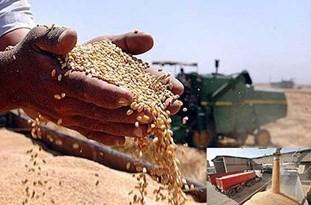 بیش از 13 هزار تن گندم از کشاورزان بویینزهرایی خریداری شد