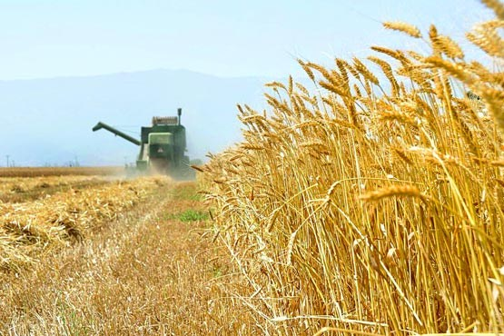 7000 تُن جو از کشاورزان شهرستان بوئینزهرا خریداری شد